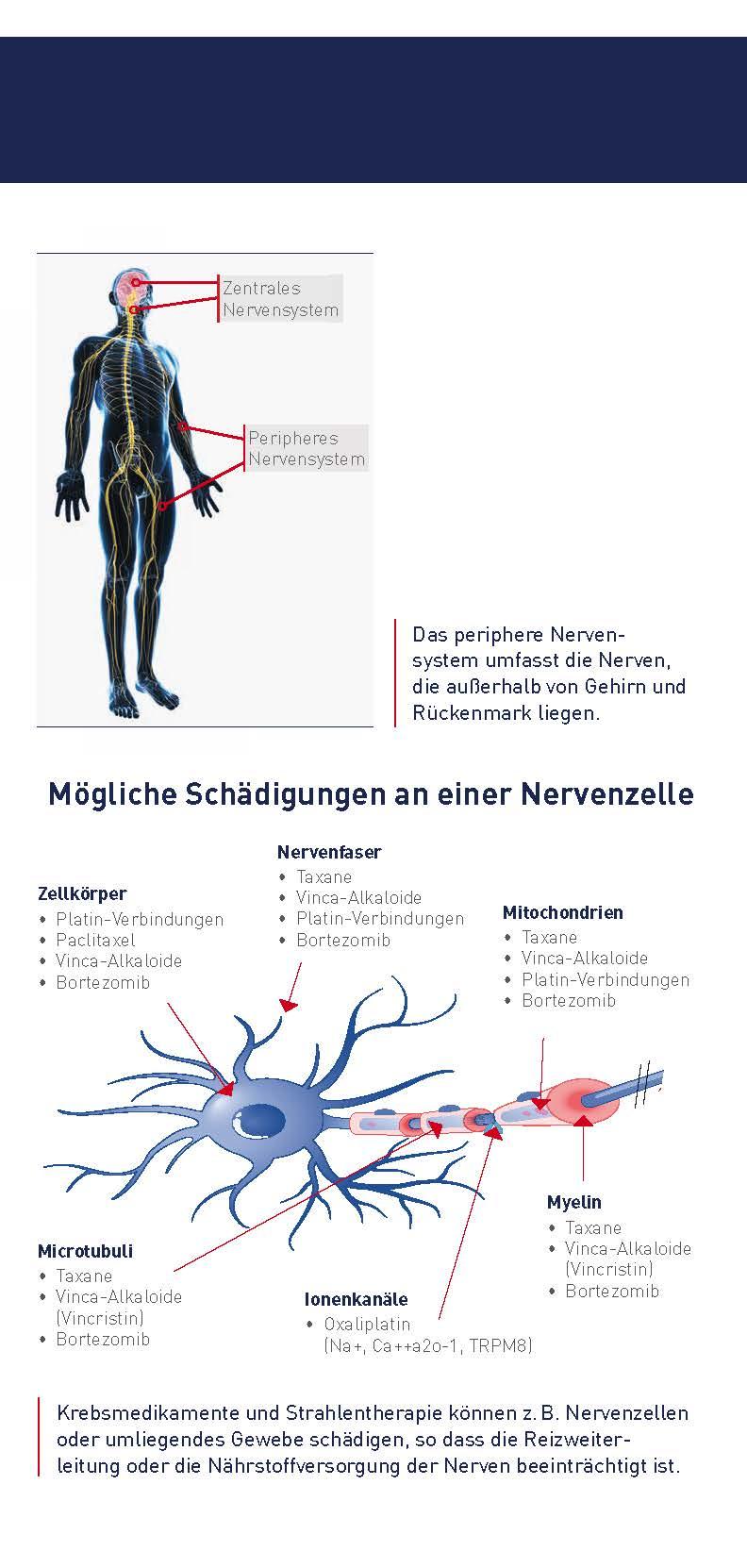 Atemberaubend Das Periphere Nervensystem Umfasst Galerie - Anatomie ...